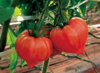 高島フルーティトマト